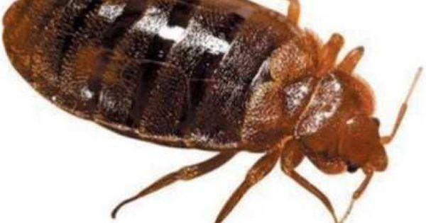 نحن شركة مكافحة بق بالرياض من افضل الشركات التى تقوم بخدمة مكافحة بق و مكافحة كافة الحشرات حيث اننا متخصصين فى رش مبيدا Bed Bugs Rid Of Bed Bugs Beautiful Bugs