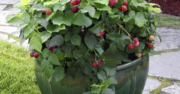 Raspberries Will Grow Happily In A Container On Your Patio
