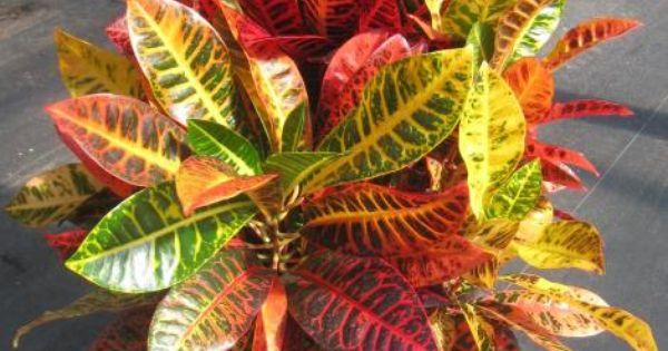 "8"" Croton Norma | Nature | Pinterest | Plants and Foliage ..."
