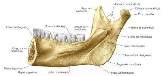 Mandíbula Vista Medial Anatomia Dos Ossos Anatomia Cabeça E Pescoço Crânio Anatomia