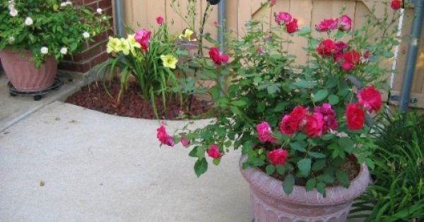 Pin By Judy Struck On Gardening Knockout Roses Fall Container Gardens Rose Garden Design
