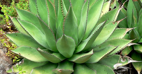 Agave shawii succulents pinterest suculentas for Suculentas por mayor