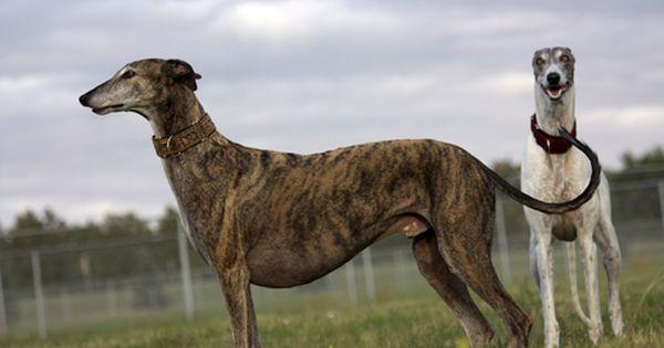 Sarah Regan Snavely Winchester Grey Hound Dog Greyhound Whippet