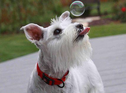 #Miniature Schnauzer, Dog, Dogs, Puppy, Puppies, Pet, Pets, Animal, Animals, Photography