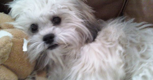 """Comments on the picture titled """"Client ShihPoo (Shih Tzu"""