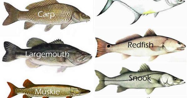 Gamefish google search fresh saltwater pinteres for Nh saltwater fishing license