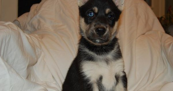 Litter Of 7 Gerberian Shepsky Mix Puppies For Sale In Annandale