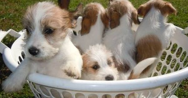 Three Jack Russell Puppies Rough Coats