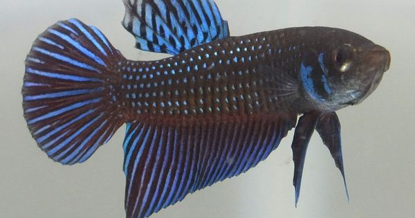 On sale wild betta young male mahachai mix color for Wild betta fish