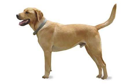 Goldador Dog Breed Information Pictures Characteristics Facts