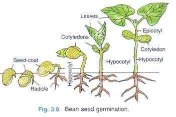 Bean Seed Germination Germination Seed Germination Seeds