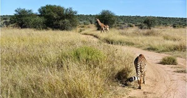 Carley Stenson S Experience Helping Animals In Africa Wildlife Conservation Projects Africa Animals
