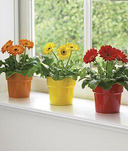 Gerbera Daisy Indoor Flowers Best Indoor Plants Plants