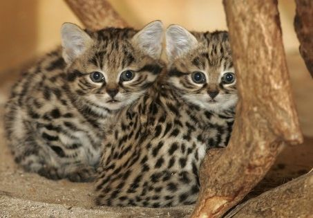 Black Footed Cat Kittens For Sale
