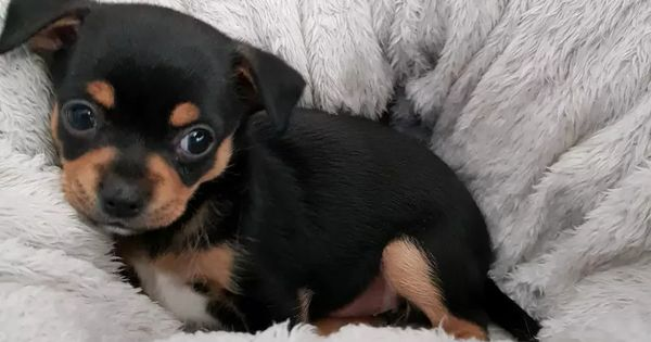 Beautiful Chihuahua Puppies For Sale Dogs Puppies Gumtree Australia Brisbane South East C Chihuahua Puppies For Sale Chihuahua Puppies Dogs And Puppies