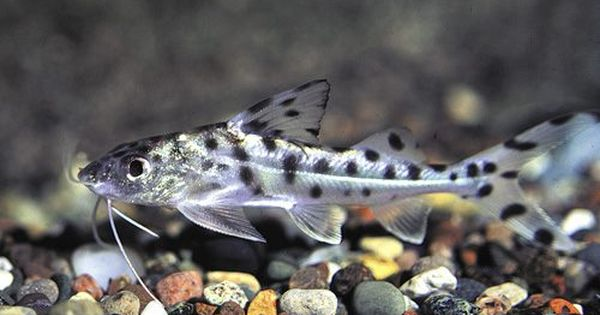 Pictus Catfish Are A Very Active Catfish For Sale Demitry Nz Grows To 4 Inches Pet Fish Catfish Freshwater Catfish