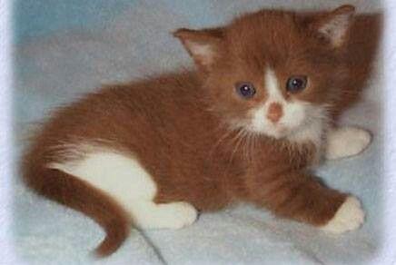 Chocolate Kittens Cutest Munchkin Cat Munchkin Kitten
