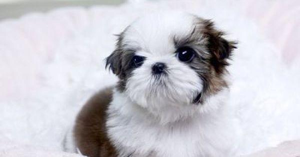 Teacup Shih Tzu Puppies Dubai City Shih Tzu Puppy Teacup Shih