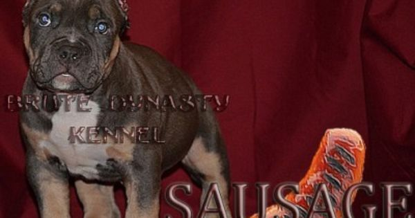 Www Brutedynastykennel Com Tri Color Bully Pitbull Puppies For Sale Pitbull Puppies For Sale Pitbull Puppies Bully Pitbull