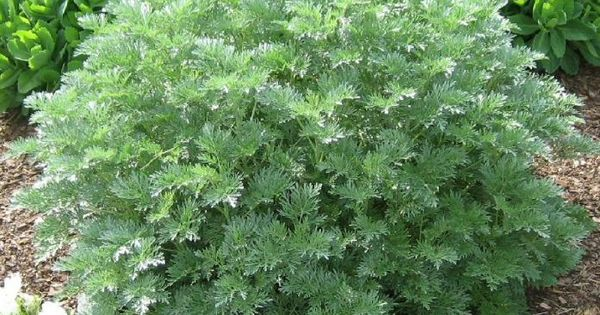 Artemisia Hearty Mounding Low Shrub 1 To 3 Feet High
