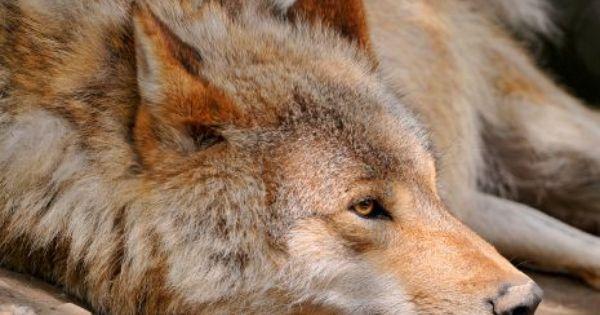 Loup De Mongolie Fond D Ecran Chien Loup Photos Animaux Sauvages