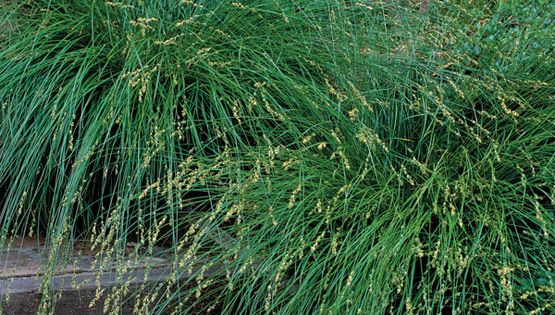 Carex divulsa berkeley sedge can grow in full sun to for Can ornamental grasses grow in shade