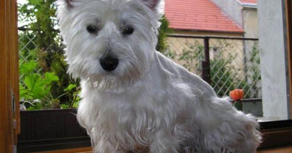 Looks Like My Lola Girl Rip West Highland White Terrier