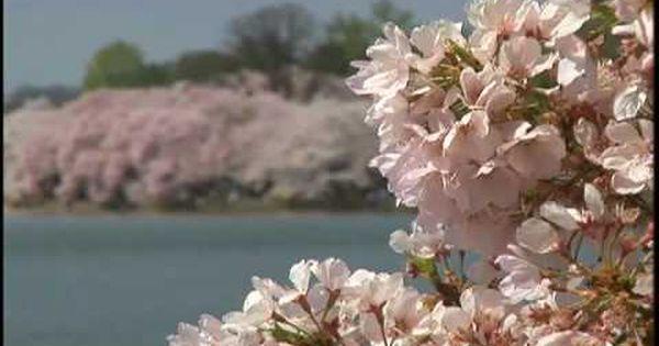 Cherry Blossom Festival Washington Dc Cherry Blossom Festival Japanese Cherry Tree Japanese Cherry Blossom