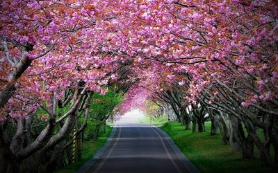 Pink Cherry Blossoms Tree Tunnel Hd Wallpaper