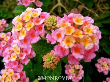 Monrovia S Mozelle Lantana Details And Information Learn More About Monrovia Plants And Best Practices For Best Possible Plant Pe Lantana Plants Garden Shrubs