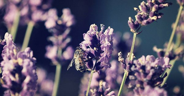 Udplantning Og Pasning Af Purpursolhat Planter Lavendel Haver