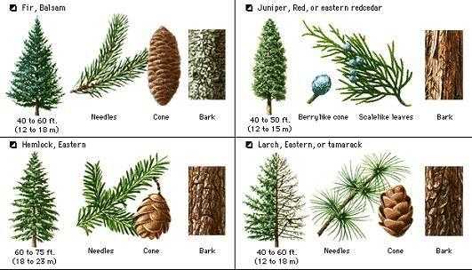 Pine Tree Identification Guide Tree Identification Types Of Pine Trees Tree Identification Chart