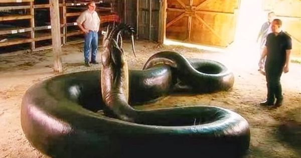 anaconda biggest snake in the world Was a giant snake really found in the red sea share flipboard email print the anaconda is the largest known living snake is this anaconda really the world's biggest snake meet miriam: sister of moses and red sea prophetess.