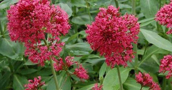 Valeriane Valerian Plantes Sauvages Comestibles Terrarium