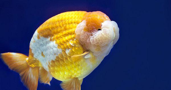 Ranchu Goldfish Aquarium Goldfish Fish Pet