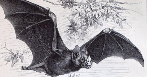 Bats and 'vampires': Antique 19th century engraving | Bats, Antiques ...
