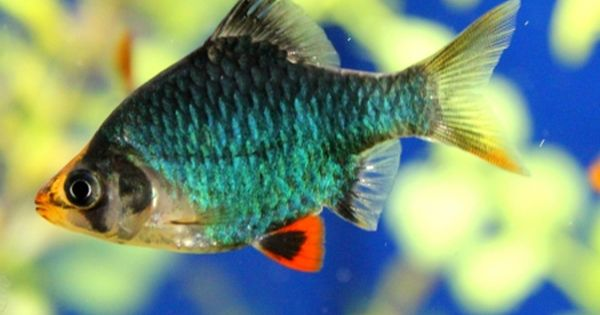 Green Tiger Barb Pisces Pets Dragon Fish Pet Fish Coldwater Fish