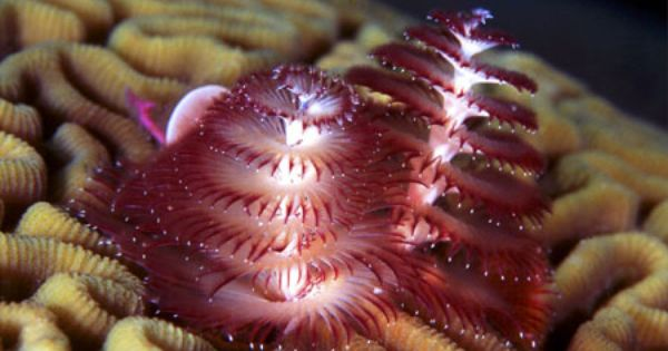 Christmas Tree Worm D Underwater Creatures Beautiful Tree Christmas Tree