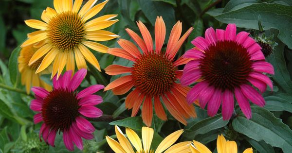 Purple coneflowers echinacea are low maintenance for Low maintenance full sun flowers