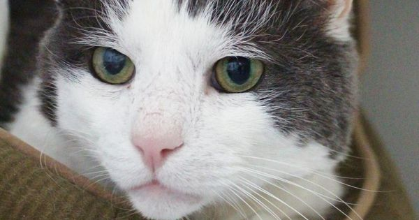 Adopt Nelson Curious But Polite And Gentle On Petfinder Cat Adoption Siberian Cats For Sale Saving Cat