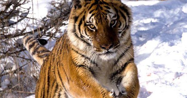 Siberian tigers poaching - photo#32