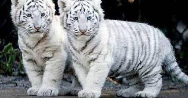 Awww, cute baby white tiger cubs