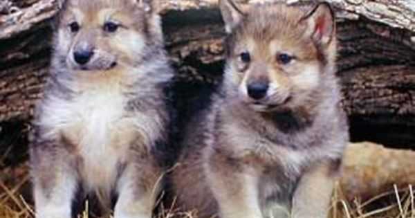 gray_wolf_pups | Algonquin Park | Pinterest Friends With Kids Poster