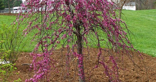 Dwarf ornamental weeping flowering trees page 3 for Dwarf decorative trees