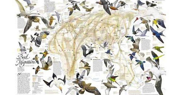 2004 Bird Migration Eastern Hemisphere Map Poster National Geographic Maps Allposters Com In 2021 Bird Migration Map Art Print Bird Illustration