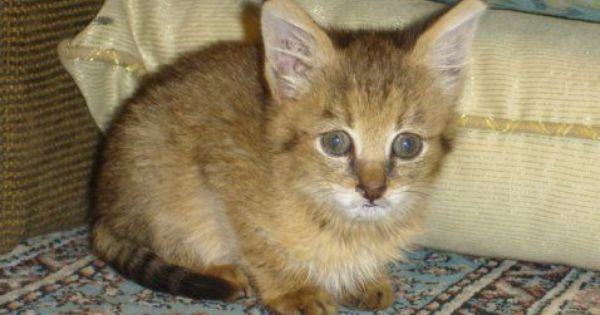 How Old Should Kittens Be Before They Leave Their Mother Pets4homes In 2020 Cats And Kittens Animals Kittens