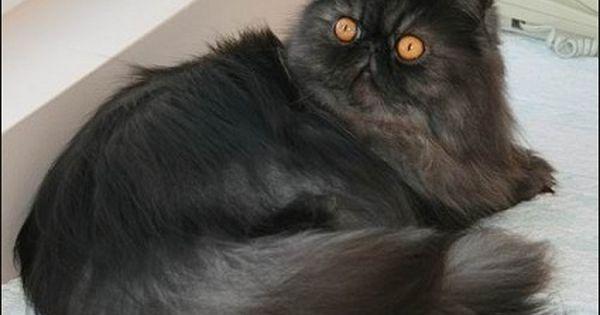 Black Smoke Persian Persian Kittens Persian Cat Himalayan Cat