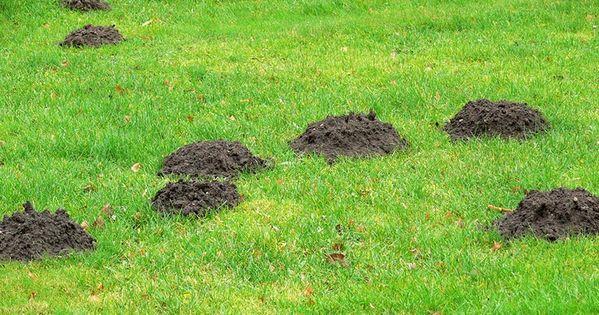 Maulwurfe Im Garten Wir Sagen Ihnen Wie Sie Sie Vertreiben Konnen Maulwurf Maulwurfhugel Garten Loswerden Garden Pests Garden Outdoor