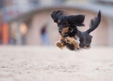 Make Massive Change To Your Dachshund S Behaviour In Just 1 Day Dackel Dachshund Weiner Dog Dachshund Dogs