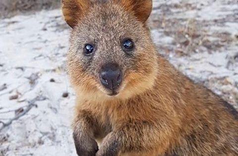 Quokka With Images Quokka Australian Animals Funny Animal Pictures